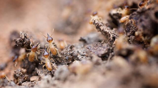 Eliminación de termitas Monterrey